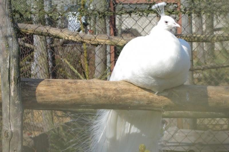 Lietuvos sodybas užkariauja egzotiniai paukščiai