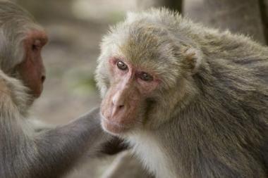 Restorane padavėjomis dirba beždžionės (video)