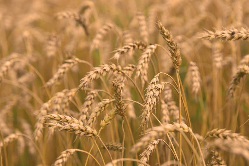 Šiemet tikimasi panašaus javų derliaus kaip pernai