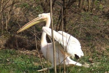 Klaipėdoje pastebėtas pelikanas