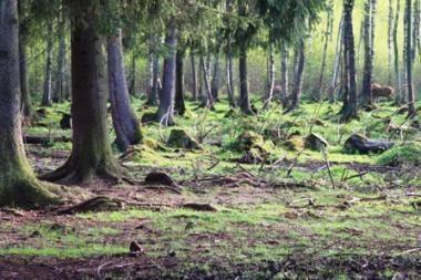 Šalyje atsodinami miškai