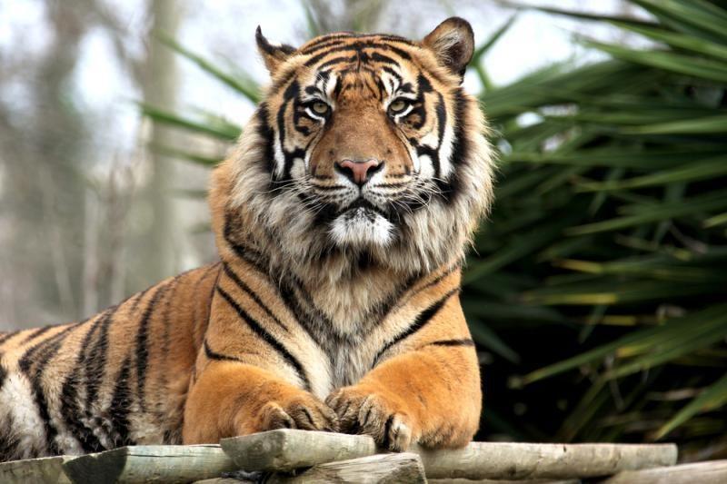 Šeima, namuose auginanti                   tigrą