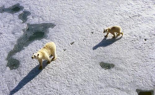 Arkties lobiai: tarp naujų galimybių ir katastrofų