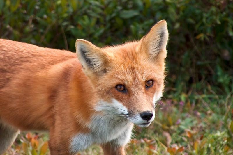 Pradedama rudeninė laukinių gyvūnų vakcinacija nuo pasiutligės