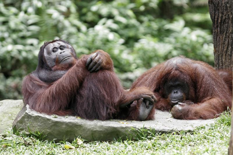 Sumatros orangutanai vilkina lytinę brandą