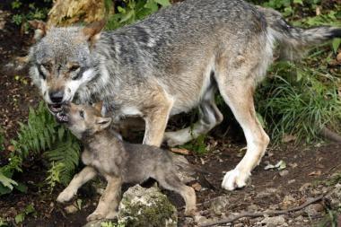 Šiaurės Lietuvoje siautėja išsigimę vilkai