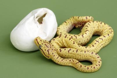 Konfiskuotame automobilyje - gyvatė