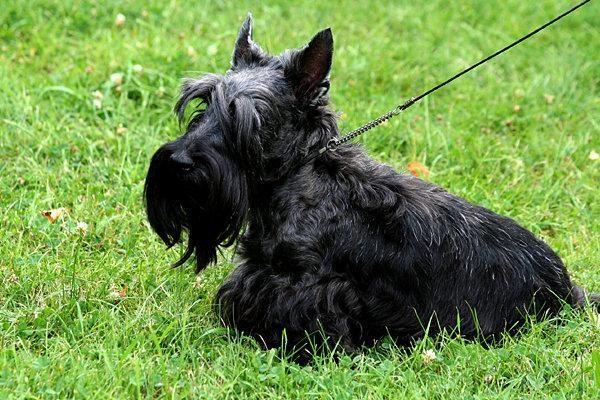 Pranašystės: šuo ėda žolę - turbūt lis