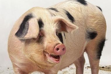 Britanijoje rastos 125 metų senumo vytintos kiaulės kojos