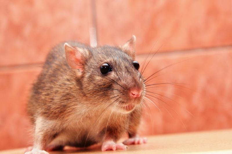 JAV policija ieško narkotikus sugadinusios pelės