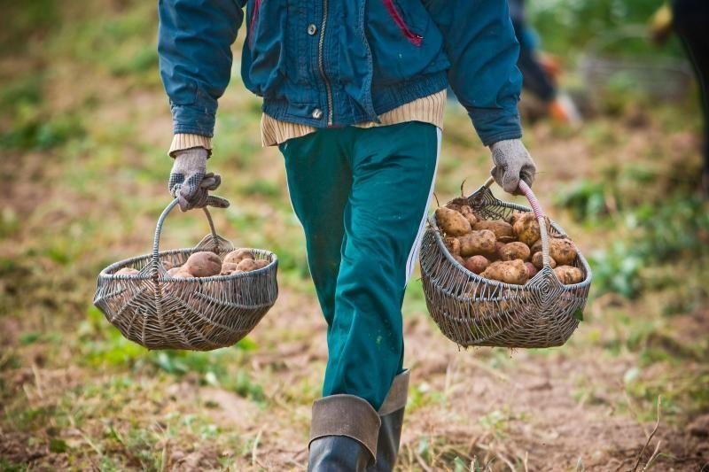 Pernykštis bulvių derlius pūva saugyklose