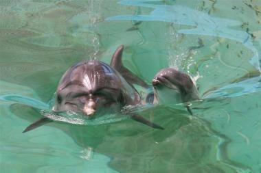 Lietuvos jūrų muziejuje gimė delfinukas