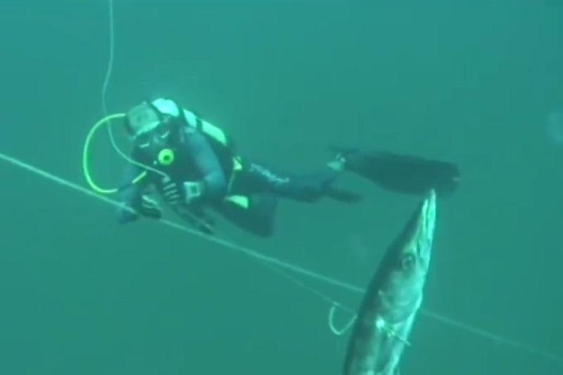 Sutikti barakudą - dviguba grėsmė: jos medžioja kartu su rykliais
