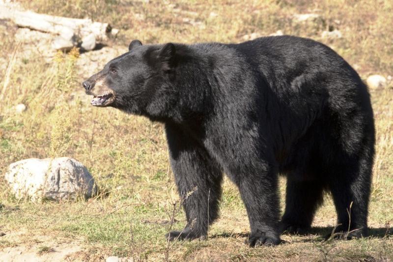 Japonijoje iš gyvūnų parko pabėgę lokiai mirtinai sudraskė dvi moteris