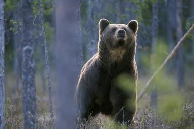 Miško žvėrys numato būsiant šaltą žiemą