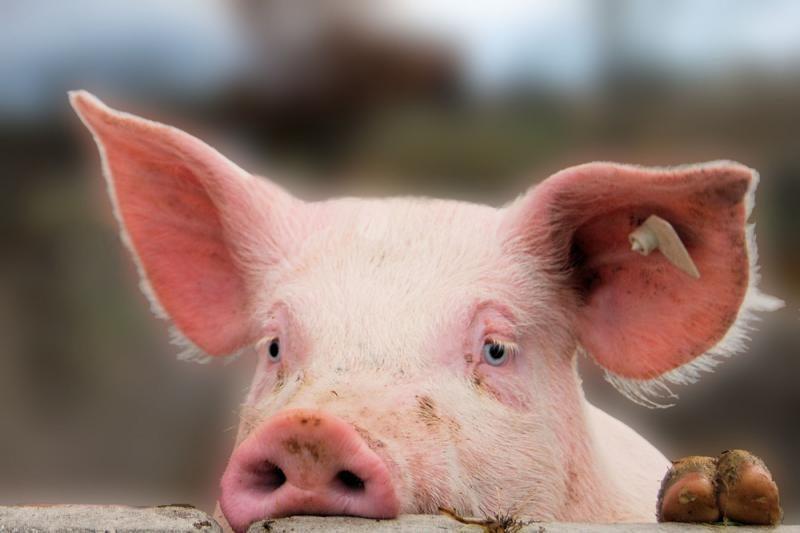 Dėl elektros gedimo fermoje nugaišo beveik 700 kiaulių
