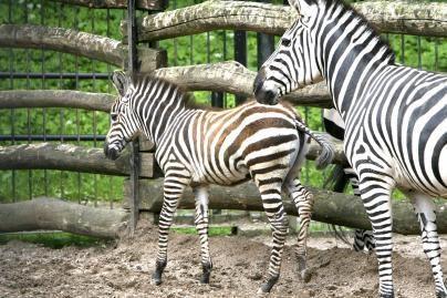 Mokslininkai atsakė į klausimą, kodėl zebrai dryžuoti?