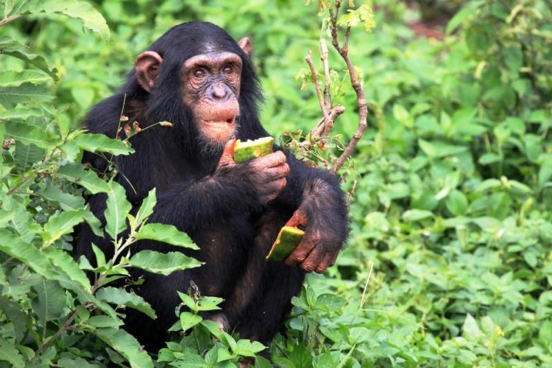 Mažosios šimpanzės viena kitą guodžia apkabinimais ir seksu