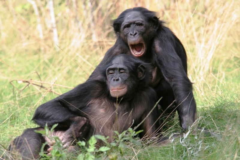 Beždžionės homoseksualiais santykiais užsiima, kad taptų svarbesnės