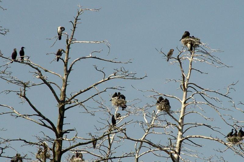 Neringos meras siūlo šaudyti kormoranus