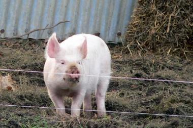Rusijoje nustatytas Afrikinio kiaulių maro atvejis