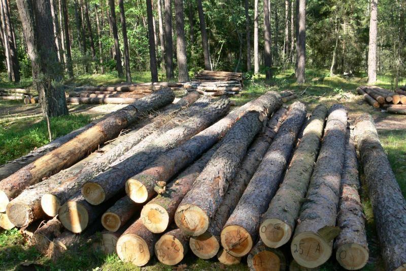Kėdainių miškų urėdijoje vandalai nupjovė ir pavogė 49 medžius