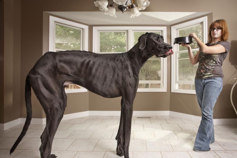 Guinnesso rekordų knygoje – milžiniškas šuo ir miniatiūrinė moteris