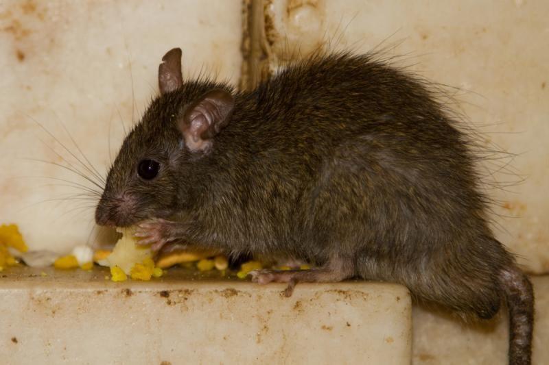 Dėl mokesčio už žiurkių naikinimą – nepasitenkinimas