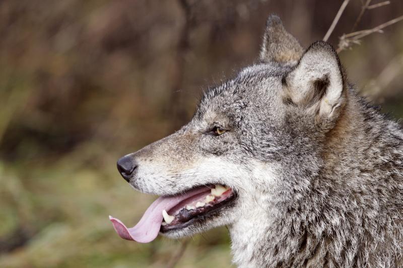 Vilkų vis dar randama ir pajūrio miškuose