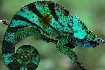 Chameleonai po aktyvaus sekso miršta