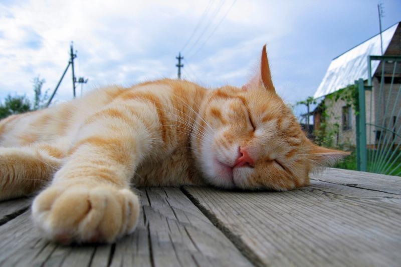Pernelyg ėdrų katiną vagys grąžino šeimininkei