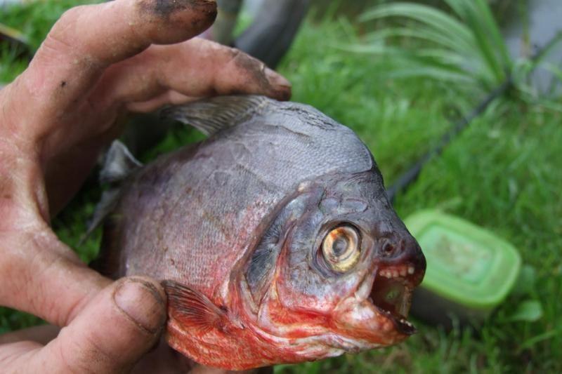 Šilutės tvenkinyje sužvejojo piraniją