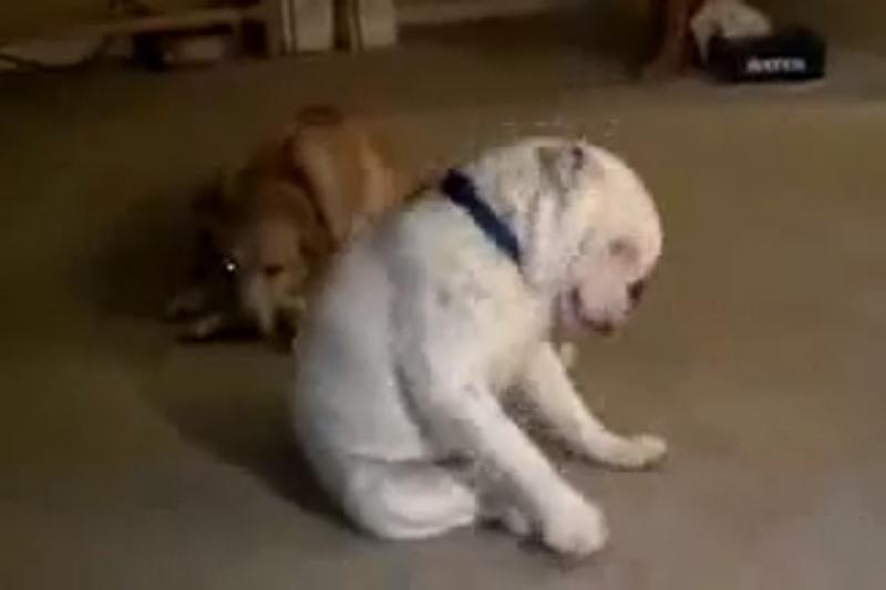 Susipažinkite – pagal bliuzo melodijas šokantis kurčias šuo