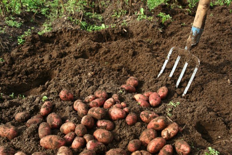 Fenomenas   –   bulvės   po   šiaudais