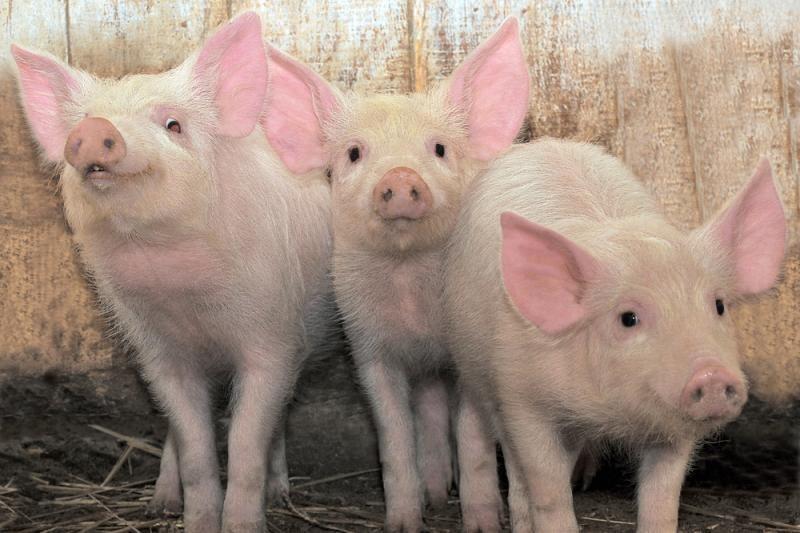 Jonavos rajone sunaikinta dar 2 tūkst. maru užsikrėtusių kiaulių