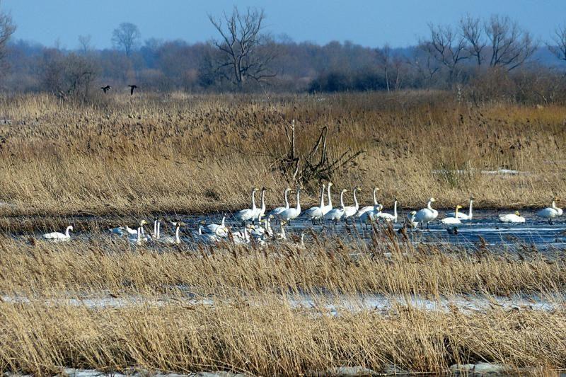 Į   Lietuvą   masiškai  plūsta paukščiai