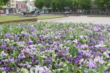 Pavogtos Klaipėdą puošiančios gėlės