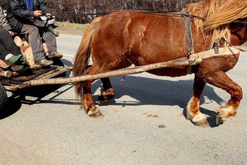 Šilalės rajone nukentėjo su arkliu prieš eismą pasukęs vadeliotojas