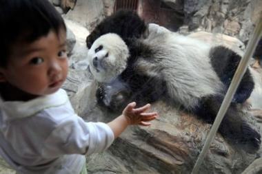 Trys pandų jaunikliai gimė Kinijoje