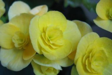 Kretingoje pavogtos miesto gėlės