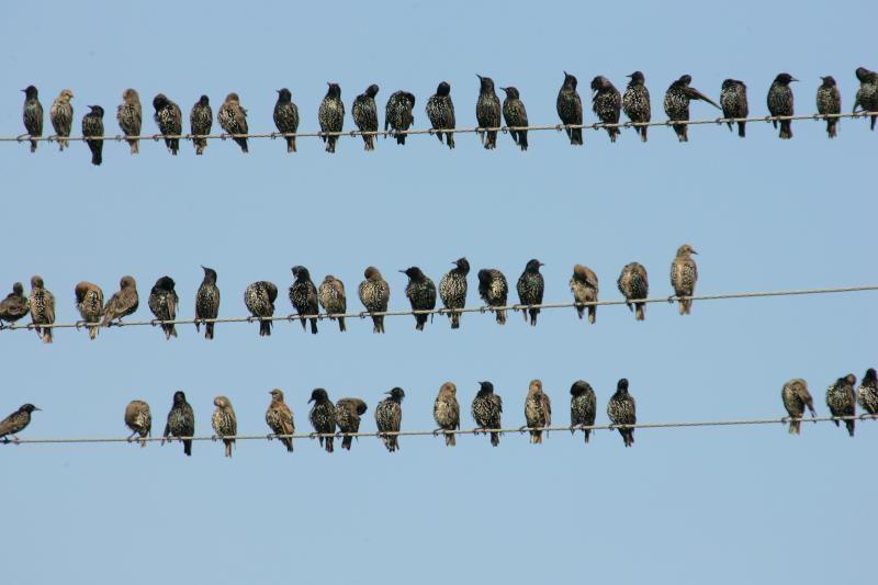 Varnėnai jau kelia sparnus į šiltuosius kraštus