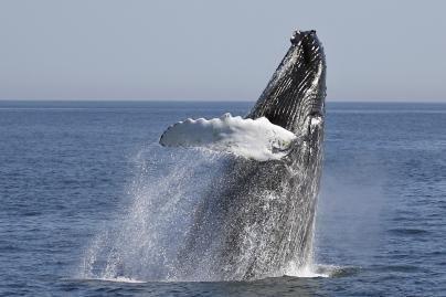 Į Baltijos jūrą užklydęs banginis gali žūti