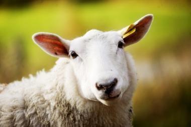 Kas greičiau apkirps avį?