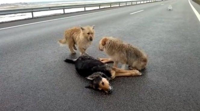 Autostradoje keturkojai pademonstravo šunišką ištikimybę