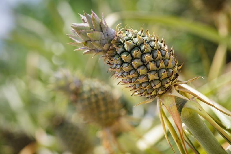 Australai sukūrė kokoso skonio ananasą