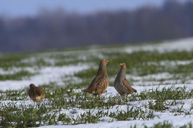 Sunerimę ornitologai ragina nutraukti kurapkų medžioklę