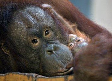 Pusei pasaulio primatų gresia išnykimas