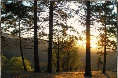 Naujiems miškams įveisti - apie 350 mln. litų