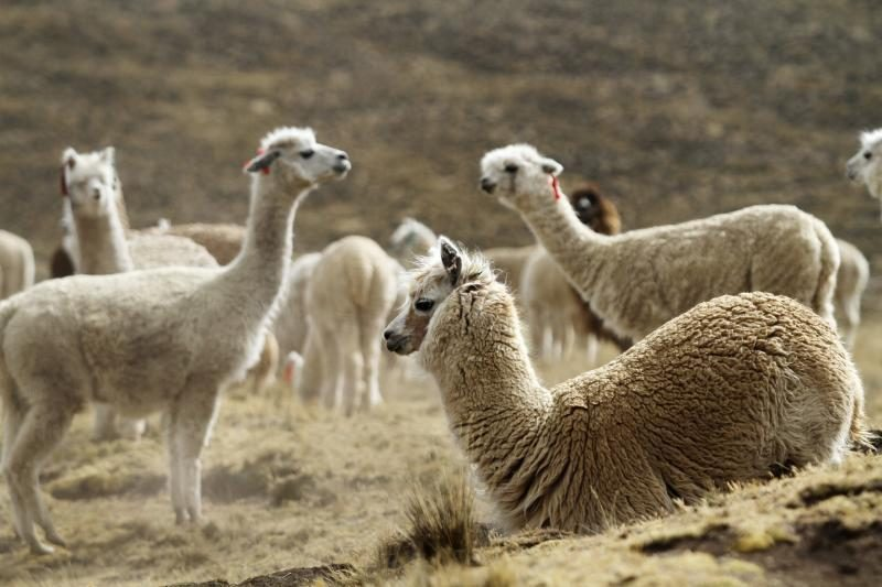 Australas užsimojo Lietuvoje įkurti alpakų fermą