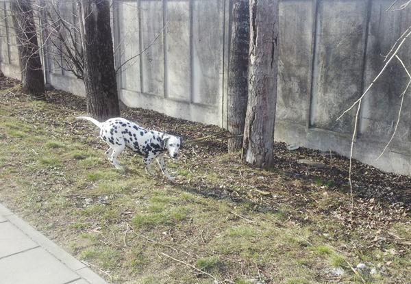 Policija per reidus drausmino šunų savininkus